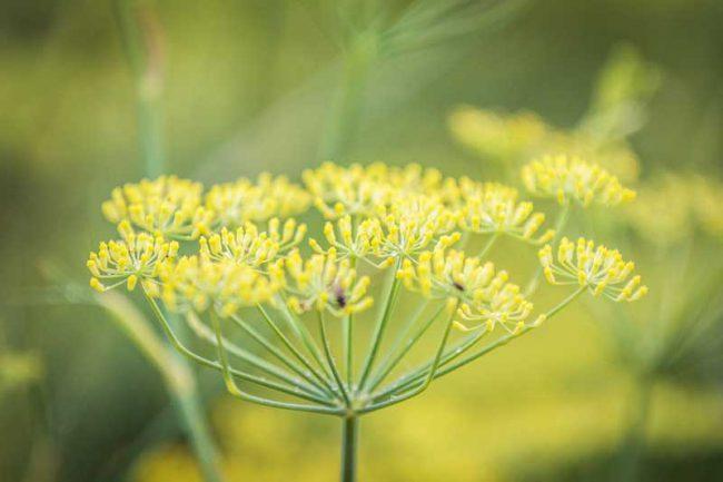 archwild-herbariumswanderung_Fenchel